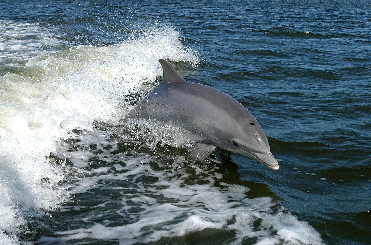 Bottlenose Dolphins Wow Llandudno Pier Crowds